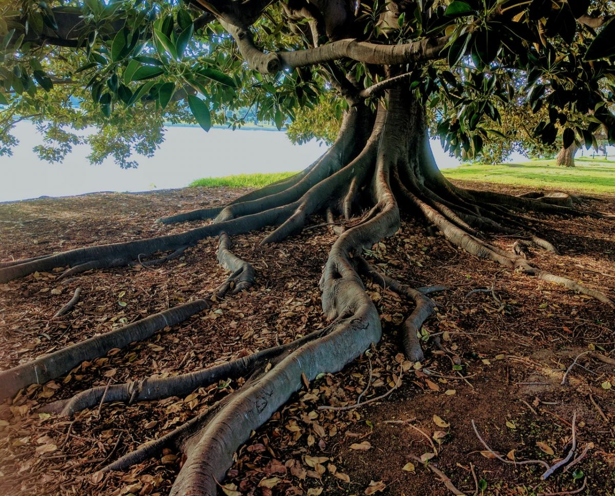 Tree roots damage drains